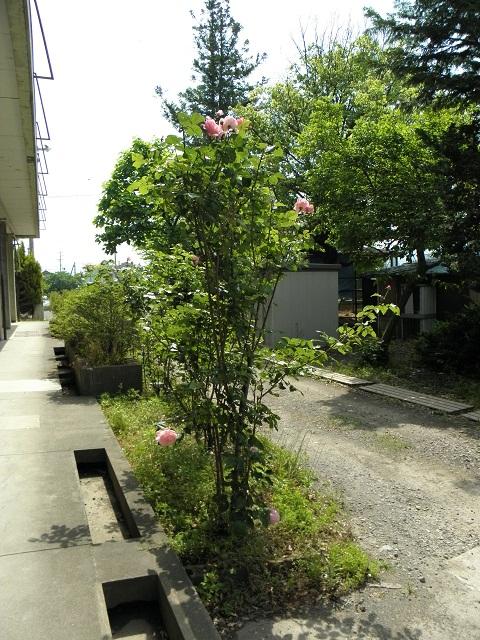 20140529bara1.jpg